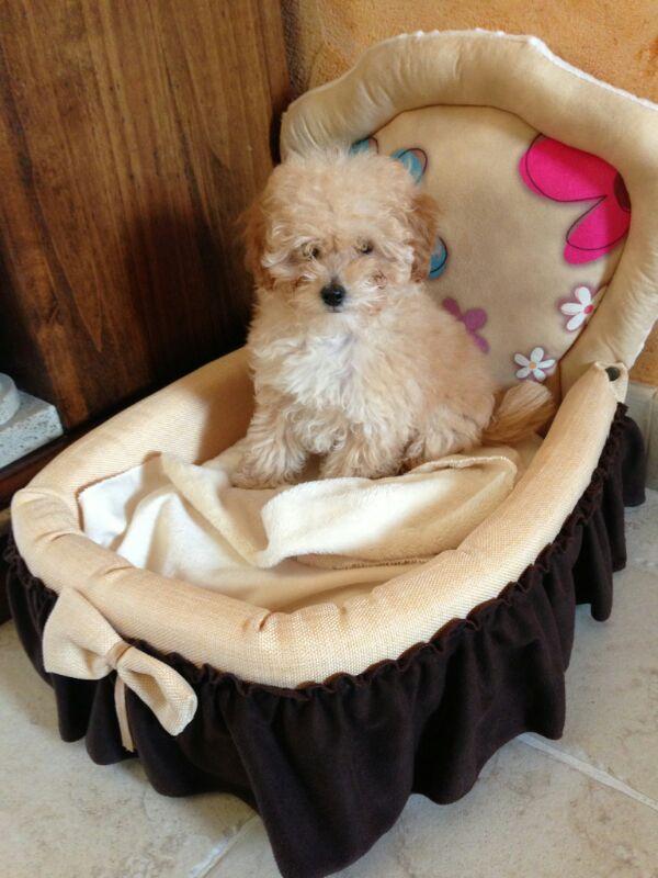 Cuccia per cane jack russel british arredo e corredo - Cuccia per cani interno ...
